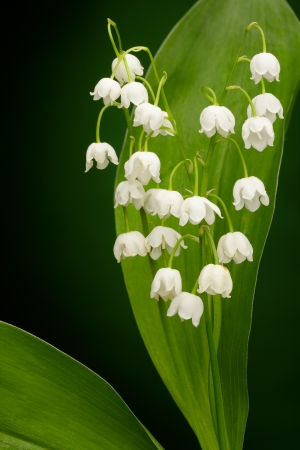 mayflower: Lilies of the valley on green