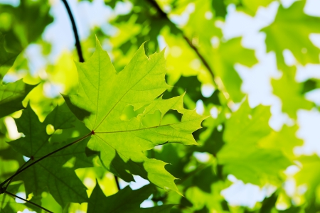 Green maple leaves background close-up Stock Photo - 20850828