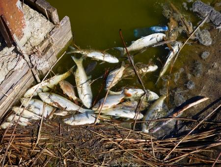 contaminacion ambiental: Los peces muertos en el agua sucia Foto de archivo