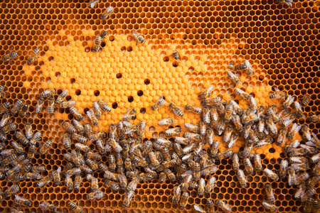 bee swarm: Bees Broods, Hardworking Bees on Honeycomb in Apiary Stock Photo