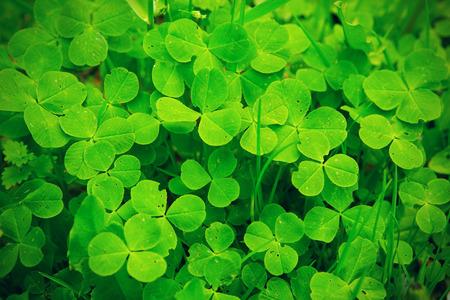 macro: Green clover close-up, macro