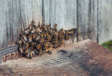 Honey bee in the entrance to a wooden beehive in the evening