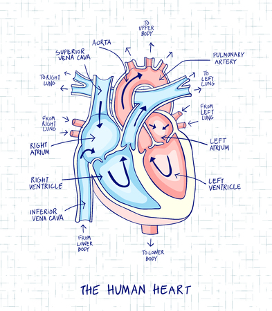 Sketch of human heart anatomy ,line and color on a checkered background. Educational diagram with hand written labels of the main parts. Vector illustration easy to edit