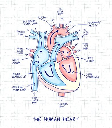 Skizze der menschlichen Herzanatomie, -linie und -farbe auf einem karierten Hintergrund. Pädagogisches Diagramm mit handgeschriebenen Aufklebern der Hauptteile. Vektorabbildung einfach zu bearbeiten