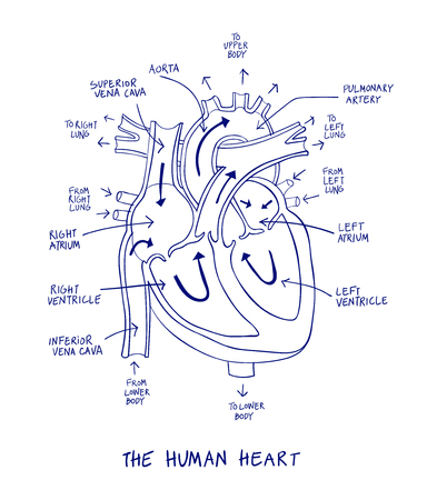 Sketch of human heart anatomy on blue line on a white background. Educational diagram showing blood flow with hand written labels of the main parts. Vector illustration easy to edit