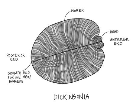 Dickinsonia fossil illustration. Ancient fossil from the Ediacaran Period Sketch with ink in black and white Vettoriali