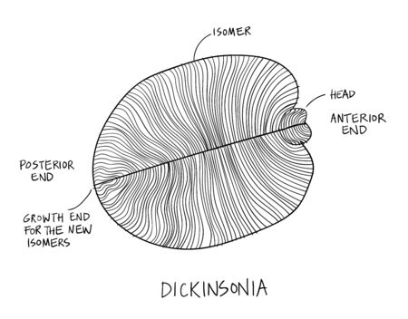 Dickinsonia fossil illustration. Ancient fossil from the Ediacaran Period Sketch with ink in black and white