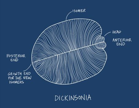 Dickinsonia fossil illustration. Ancient fossil from the Ediacaran Period Sketch white on blue background
