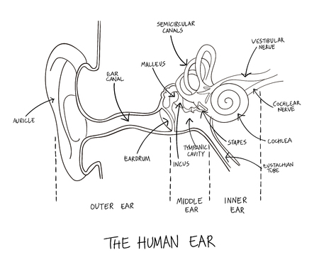 Hand drawn illustration of human ear anatomy. Educational diagram with main parts labeled in English.