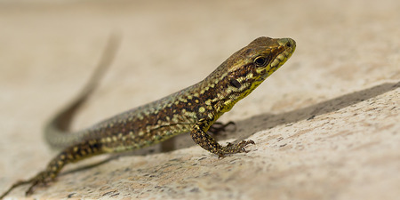 viviparous: Portrait of lizard.