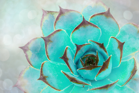 Bright green-blue cactus succulent on soft bluer focus background. Beautiful natural cactus, top view Stok Fotoğraf