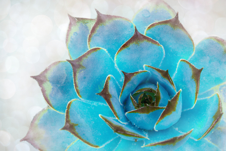 Bright green-blue cactus succulent on soft light gentle focus background. Beautiful natural cactus, top view Banco de Imagens