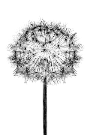 Cabeza de flor negra Flor de diente de león aislada sobre fondo blanco.