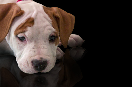 American Staffordshire Terrier portrait cute puppy, close-up, side view, looking at camera, isolated on black background Stok Fotoğraf