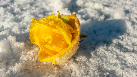 Yellow rose bud  with hoarfrost on leaves on snow in first frost.