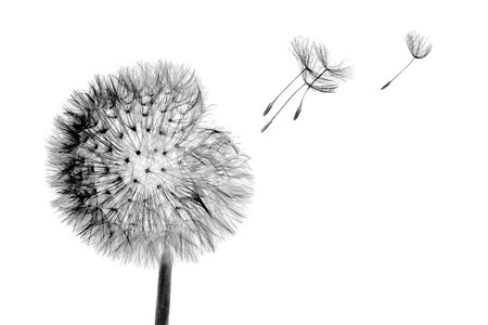 White bloom head Dandelion flower with flying seeds in wind isolated on black background.