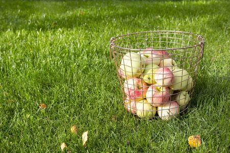 Fresh ripe red yellow apples in metal basket on green grass on sunny day. Autumn fall harvest in nature background Stock fotó