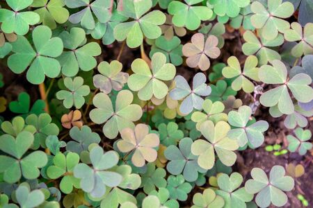 Clover leaves with three-leaved shamrocks, symbol of St Patrick day on natural background, selective focus. Stock fotó