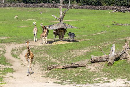 Giraffes and zebras walk in green meadow and eat grass, animals in wild. Stock fotó