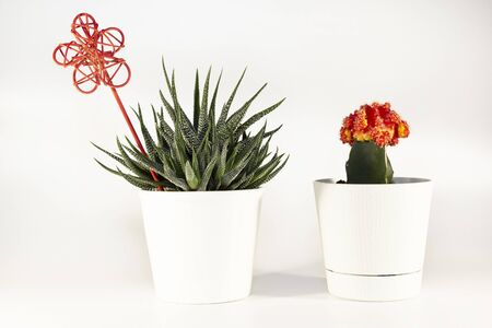 Natural cactus Haworthia attenuata and red Gymno cacti in white flowerpots isolated on white background