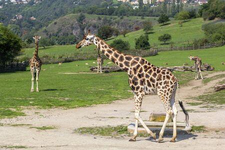 Giraffes walk on green field, animals in wild. Close-up