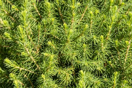 Texture of Christmas tree branches, frame of xmas green pine tree. Nature New Year concept.
