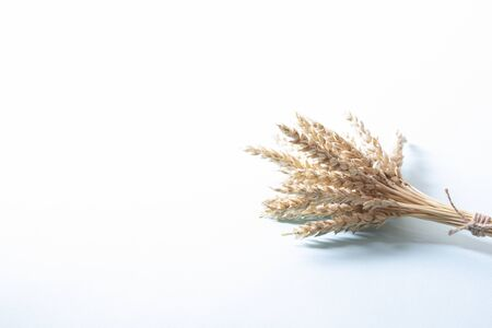 Bunch of golden wheat ears, dry yellow cereals spikelets on light white background, closeup
