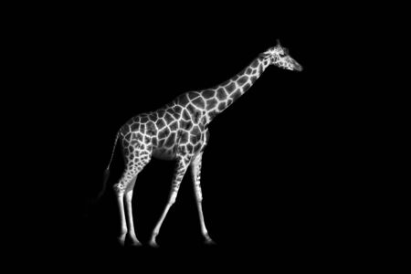 Giraffe is isolated on black background, closeup