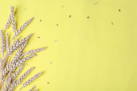 Golden wheat and rye ears, dry yellow cereals spikelets on light yellow, background, closeup, copy space
