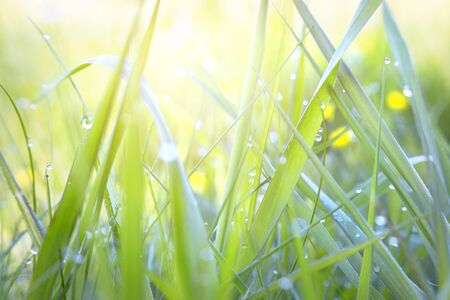 Abstract background of fresh green grass with dew drops and sun rays. Beautiful natural landscape in spring summer outdoors.