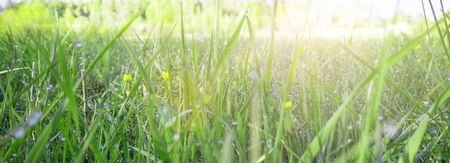 Abstract background of fresh green grass with dew drops and sun rays. Beautiful natural landscape in spring summer outdoors, banner, copy space.