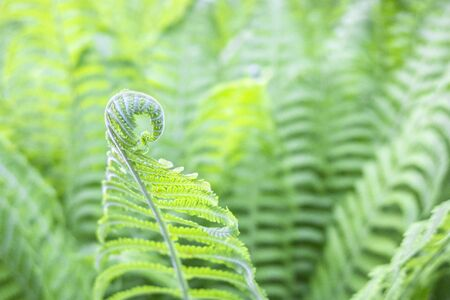 Beautiful fresh green young shoots stems spiral of fern leaves on natural background, copy space. Фото со стока