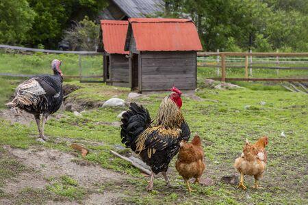 Geese, chickens, turkeys graze in poultry yard on green grass. Home Organic Farm Standard-Bild