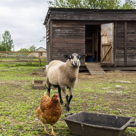 Sheep and chicken graze, in poultry yard on green grass. Rural organic nature animals farm.