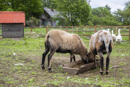 Sheep graze in barnyard, eating food. Rural organic nature animals farm. Archivio Fotografico