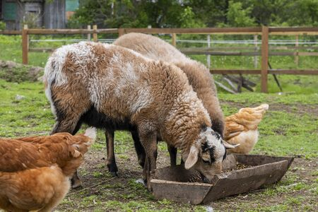 Geese, chickens, turkeys graze, sheeps in poultry yard on green grass. Home Organic Farm Stok Fotoğraf