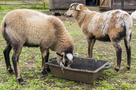 Sheep graze in barnyard, eating food. Rural organic nature animals farm. Stok Fotoğraf