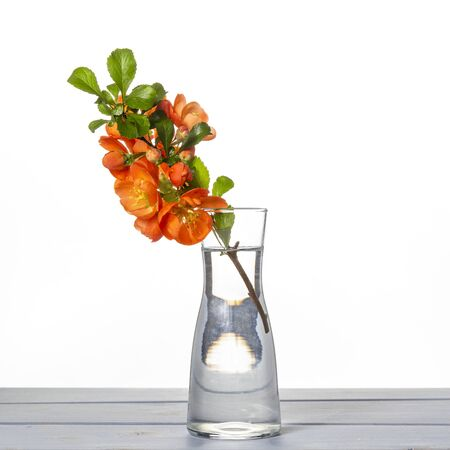 Fresh branch of blooming quince with red flowers in transparent glass vase isolated on table on white background