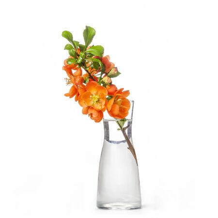 Fresh branch of blooming quince with red flowers in transparent glass vase isolated on white background