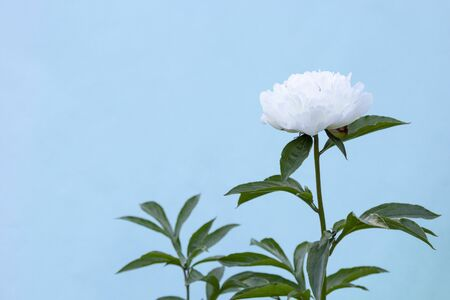 White blooming peony flower on light blue background. Beautiful bud flower head for greeting card, copy space