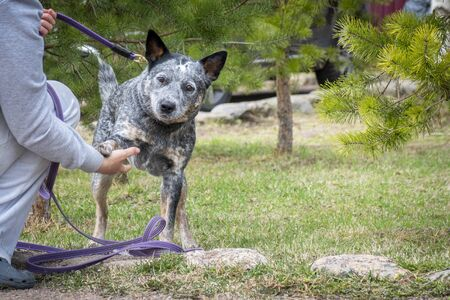 Woman training gives command Australian Cattle Dog (Blue Heeler). Young cheerful dog gives paw