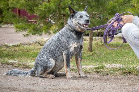 Woman training gives command Australian Cattle Dog (Blue Heeler). Standard-Bild
