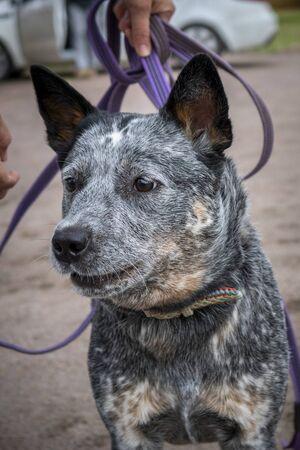Portrait of barking young Australian Cattle Dog (Blue Heeler), close-up Stok Fotoğraf