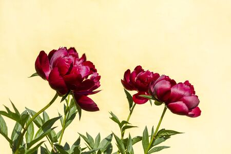 Red blooming peony flower (Paeonia Lactiflora Buckeye Belle) on light yellow background. Beautiful bud flower head for greeting card, copy space Stok Fotoğraf