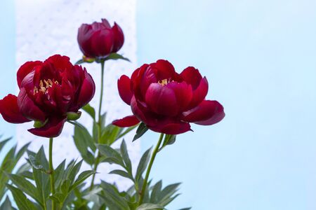 Red blooming peony flower (Paeonia Lactiflora Buckeye Belle) on light blue background. Beautiful bud flower head for greeting card, copy space