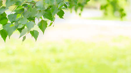 Banner frame of fresh green tree leaves on summer morning in light outdoors sun with natural blurry background. Close-up, wide format, copy space