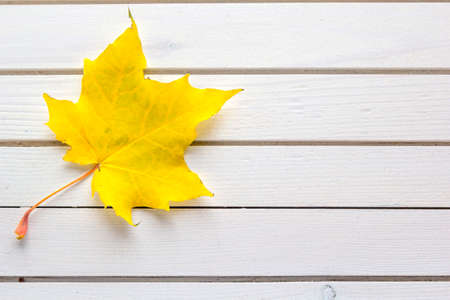 Autumn composition of fallen yellow maple leaf on white wooden background