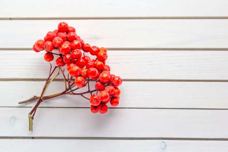 Autumn composition of fallen bunch of rowan berries on white wooden background Stock fotó