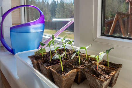 Young seedlings in peat pots with watering can on windowsill in morning sun. Natural blurred background, selective focus
