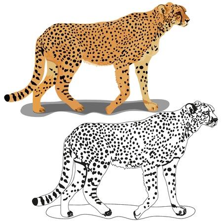 undomesticated: Cheetah Illustration